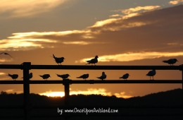 White-fronted Terns at sunset