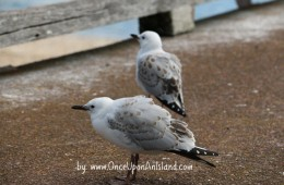 Young Red Billed Seagulls