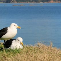 Introducing Bruce and Carol (Black Backed Gulls)